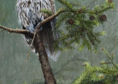 Aerial Reconnaissance - Barred Owl