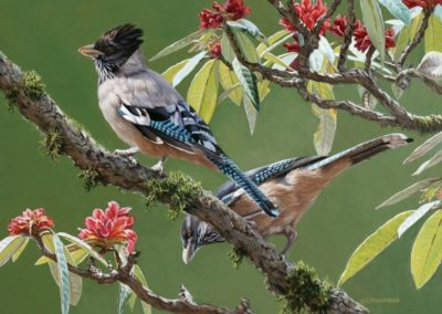 Thumbar, Chirag - Black-headed Jay