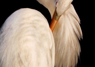 Offeman, James  - Great Egret