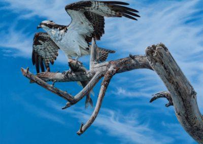 Soos, Heather  - The Fish Hawk